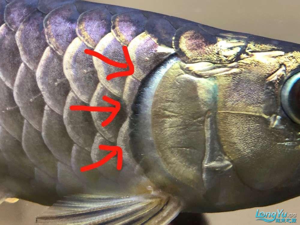 西安黑云(大吉大利)鱼批发请问我的龙鱼腮盖末端有点发黑而且有一点点缺正常吗?