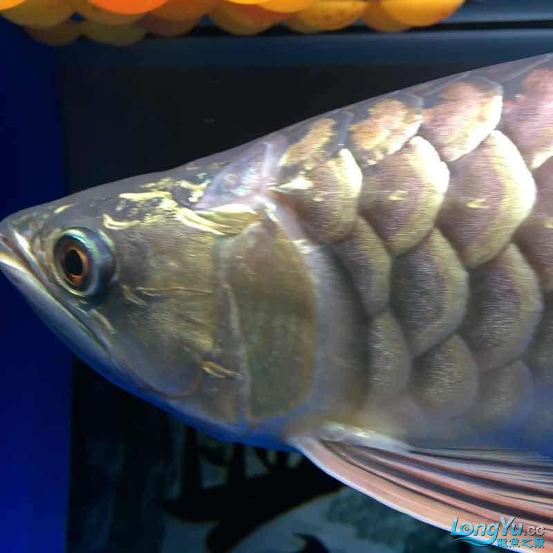 大神们我的鱼那个鱼鳞那里怎么了 西安龙鱼论坛 西安博特第1张