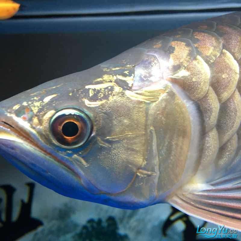 大神们我的鱼那个鱼鳞那里怎么了 西安龙鱼论坛 西安博特第2张