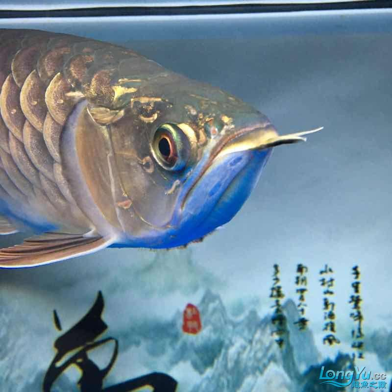 大神们我的鱼那个鱼鳞那里怎么了 西安龙鱼论坛 西安博特第3张
