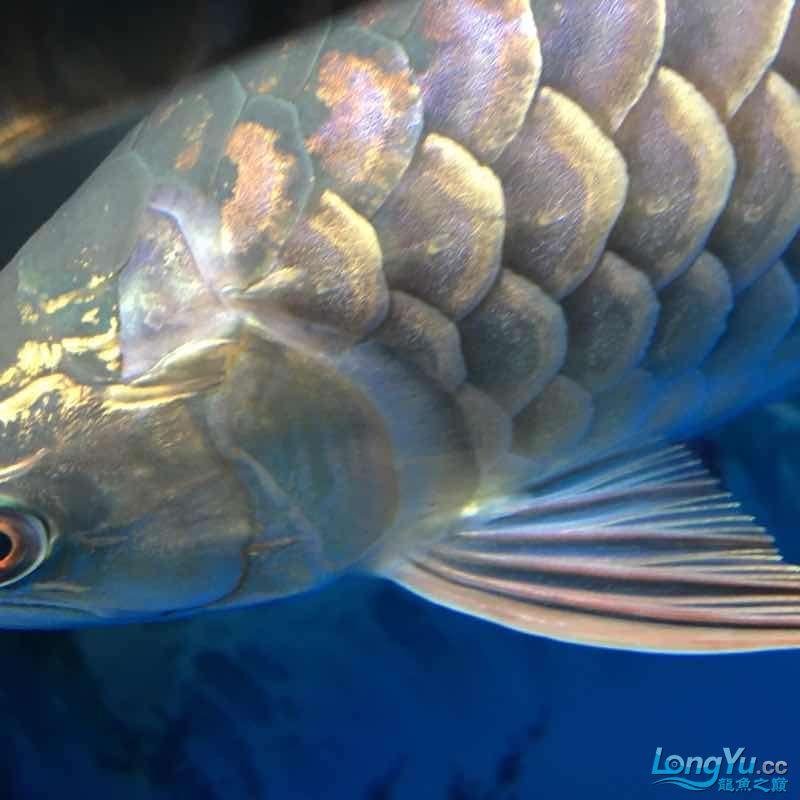 大神们我的鱼那个鱼鳞那里怎么了 西安龙鱼论坛 西安博特第4张