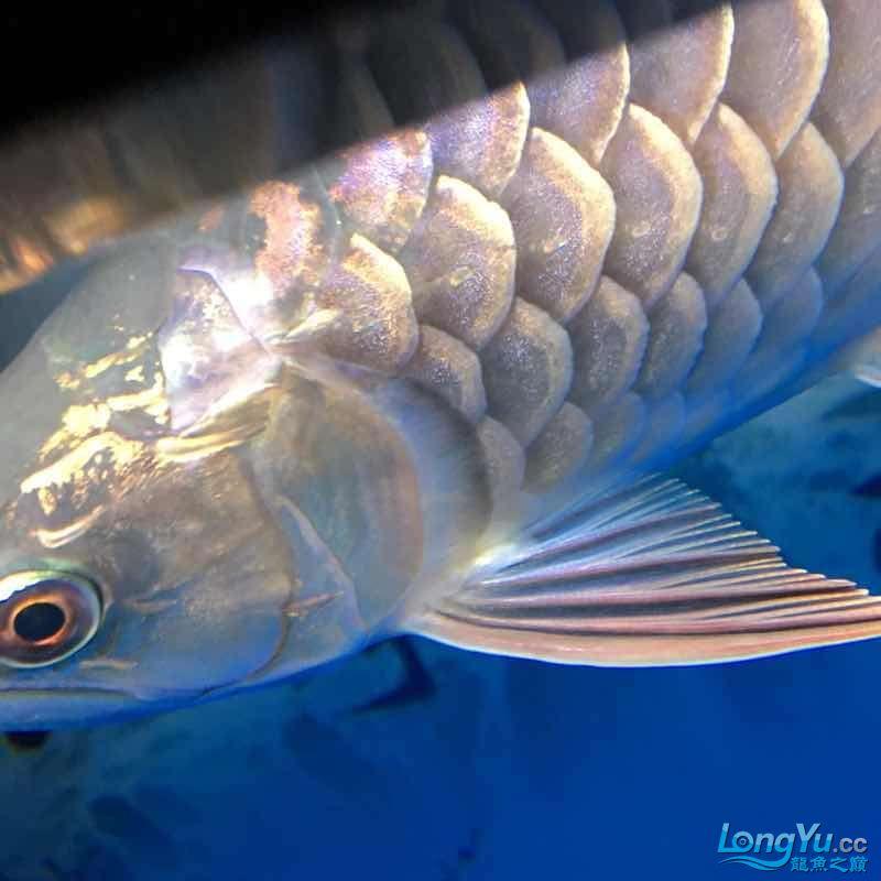 大神们我的鱼那个鱼鳞那里怎么了 西安龙鱼论坛 西安博特第5张