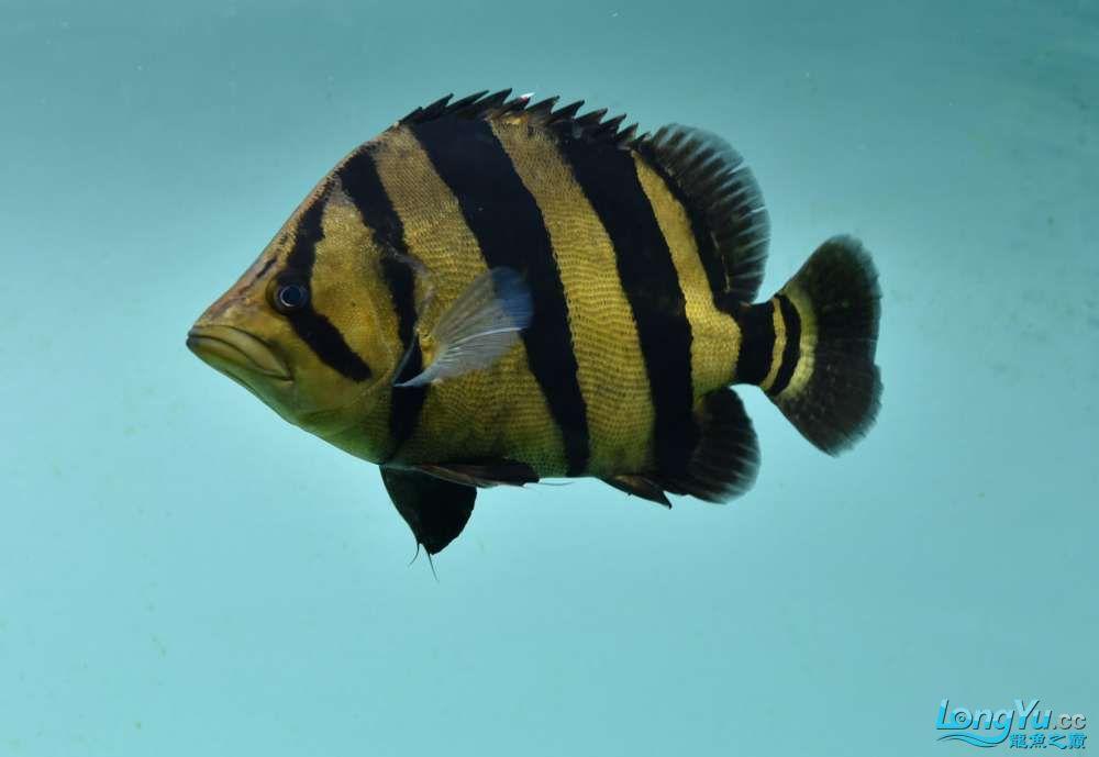 嗨我虽是杂文泰虎但也很多人喜欢我哟 西安观赏鱼信息 西安博特第2张