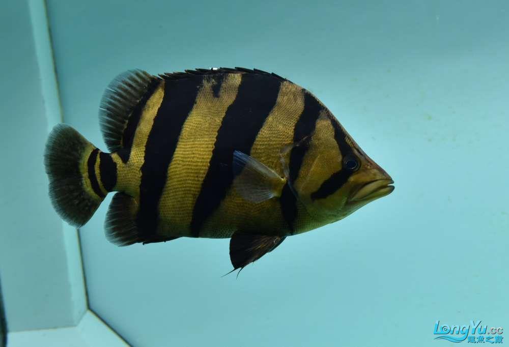 嗨我虽是杂文泰虎但也很多人喜欢我哟 西安观赏鱼信息 西安博特第1张