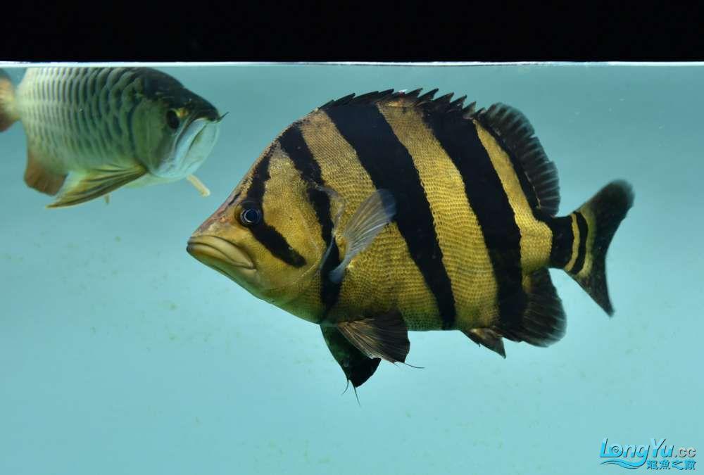 嗨我虽是杂文泰虎但也很多人喜欢我哟 西安观赏鱼信息 西安博特第3张