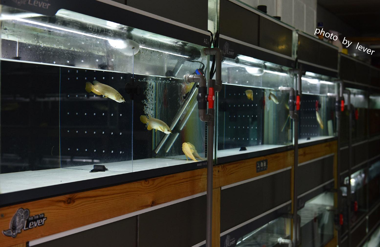 嗨我虽是杂文泰虎但也很多人喜欢我哟 西安观赏鱼信息 西安博特第17张