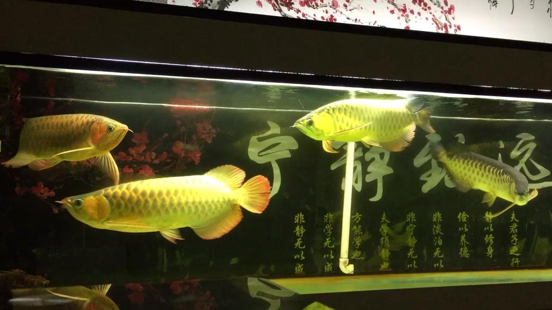 西安大鱼缸价格好久没来签【西安银龙苗】到 西安观赏鱼信息