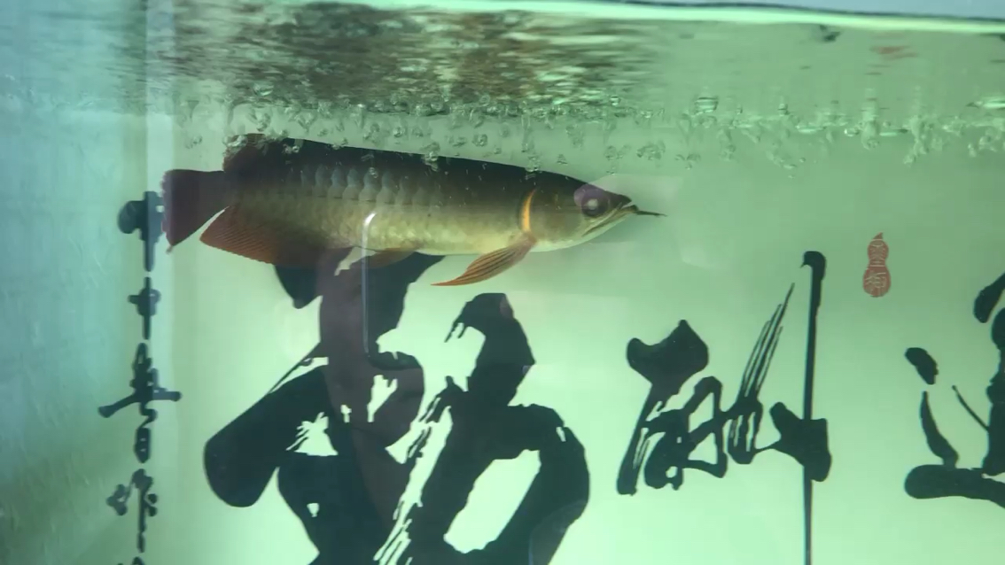 西安北郊鱼缸批发市场红龙鱼凹眼了各位大神帮帮忙看看 西安龙鱼论坛 西安博特第1张