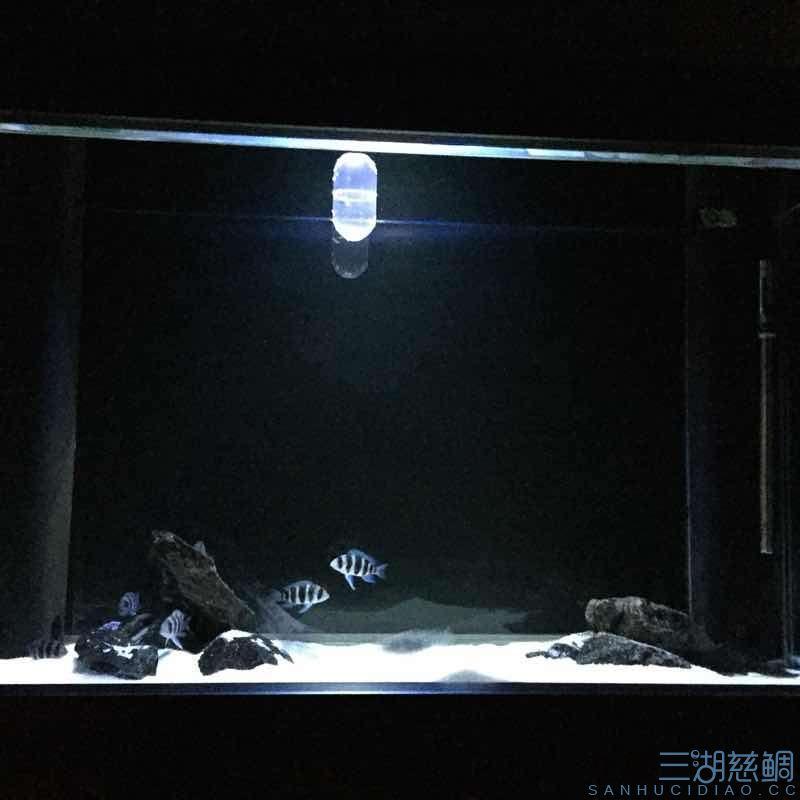 发几张深夜里的小步【西安哪个水族店有白子关刀鱼】 西安龙鱼论坛 西安博特第2张