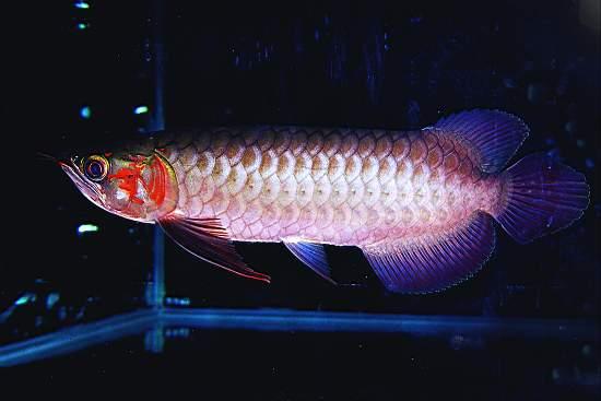 发几张深夜里的小步【西安哪个水族店有白子关刀鱼】 西安龙鱼论坛 西安博特第6张