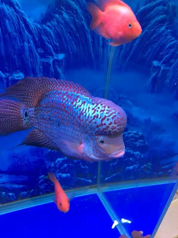 各位鱼友这罗汉怎样 西安观赏鱼信息 西安博特第1张