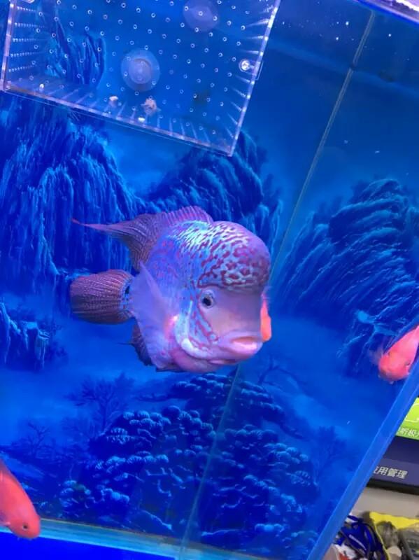 各位鱼友这罗汉怎样 西安观赏鱼信息 西安博特第2张