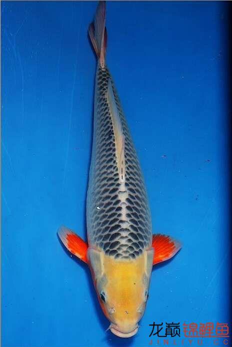 1800买的浅黄 西安龙鱼论坛 西安博特第2张