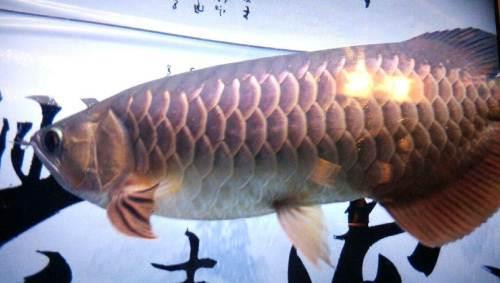 刚到家的金花罗汉 西安龙鱼论坛 西安博特第2张