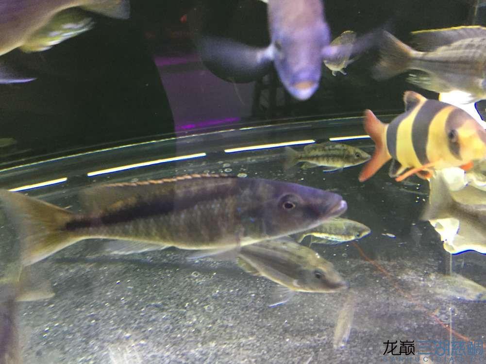 枫之谷+我的鱼 西安龙鱼论坛 西安博特第1张