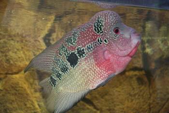 枫之谷+我的鱼 西安龙鱼论坛 西安博特第2张