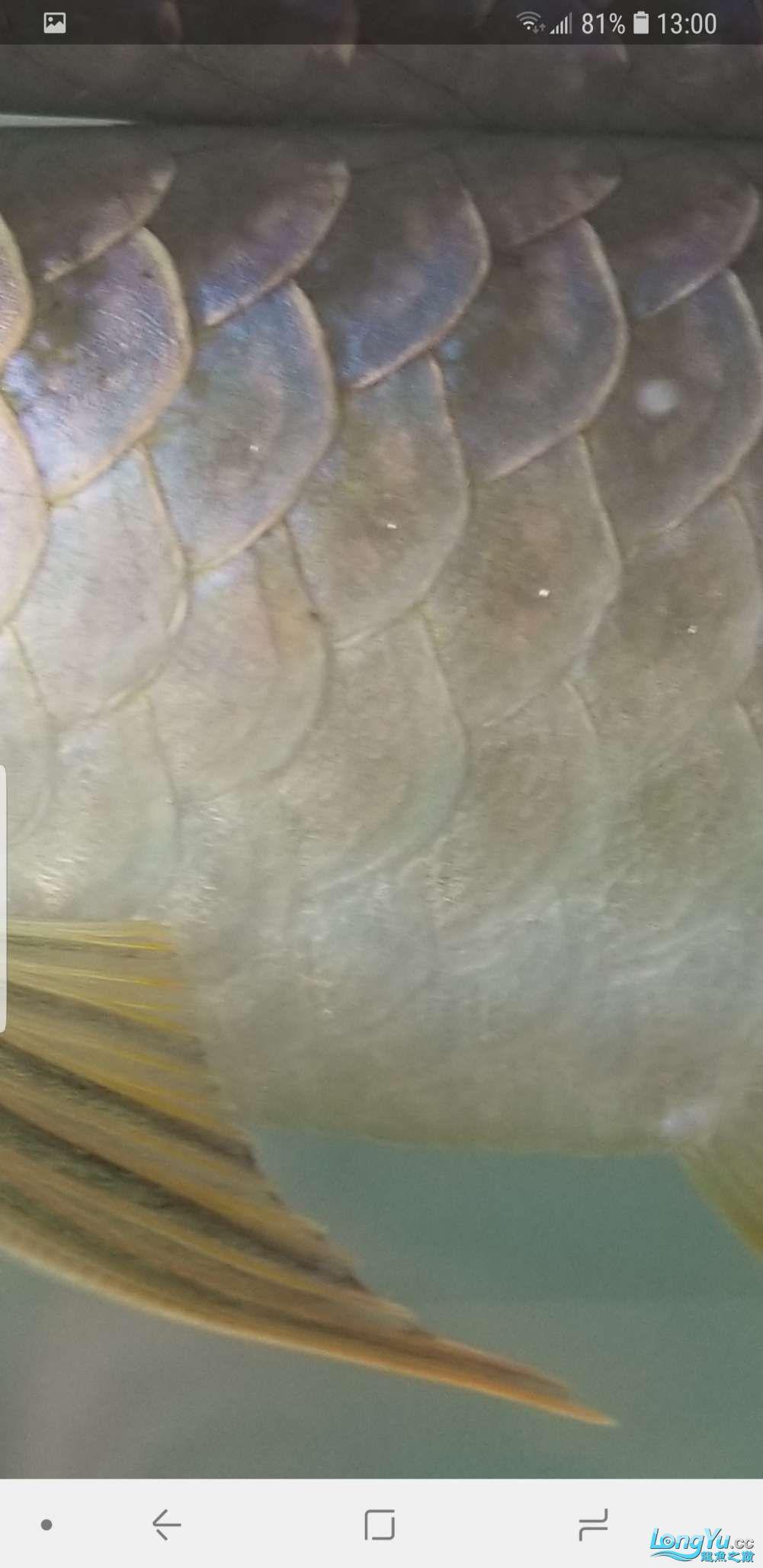 请各位大西安皇冠黑白魟鱼寿命神帮我看看龙鱼身上这个是什么东东?要怎么解 西安龙鱼论坛 西安博特第4张