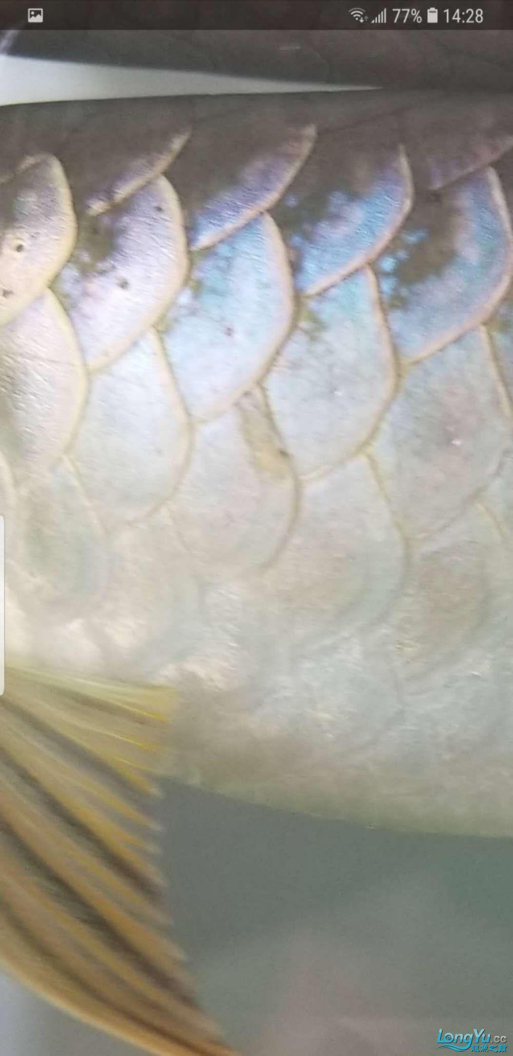 请各位大西安皇冠黑白魟鱼寿命神帮我看看龙鱼身上这个是什么东东?要怎么解 西安龙鱼论坛 西安博特第2张
