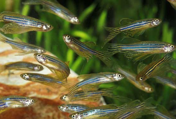 西安观赏鱼批发斑马鱼怎么区分雌雄? 西安观赏鱼信息 西安博特第2张