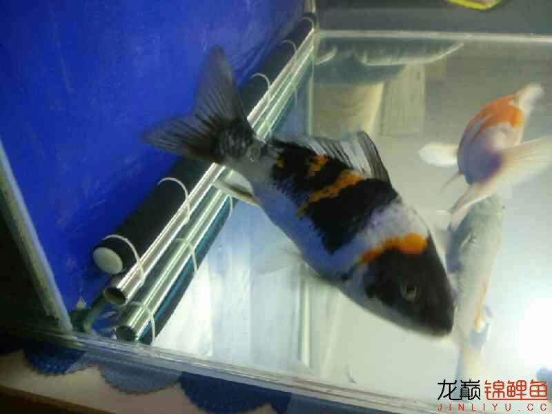 【西安花鸟鱼市】评论一下 西安观赏鱼信息 西安博特第3张