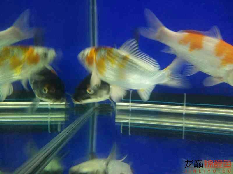 【西安花鸟鱼市】评论一下 西安观赏鱼信息 西安博特第5张