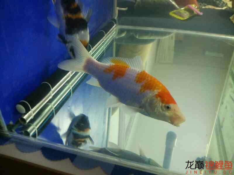 【西安花鸟鱼市】评论一下 西安观赏鱼信息 西安博特第4张