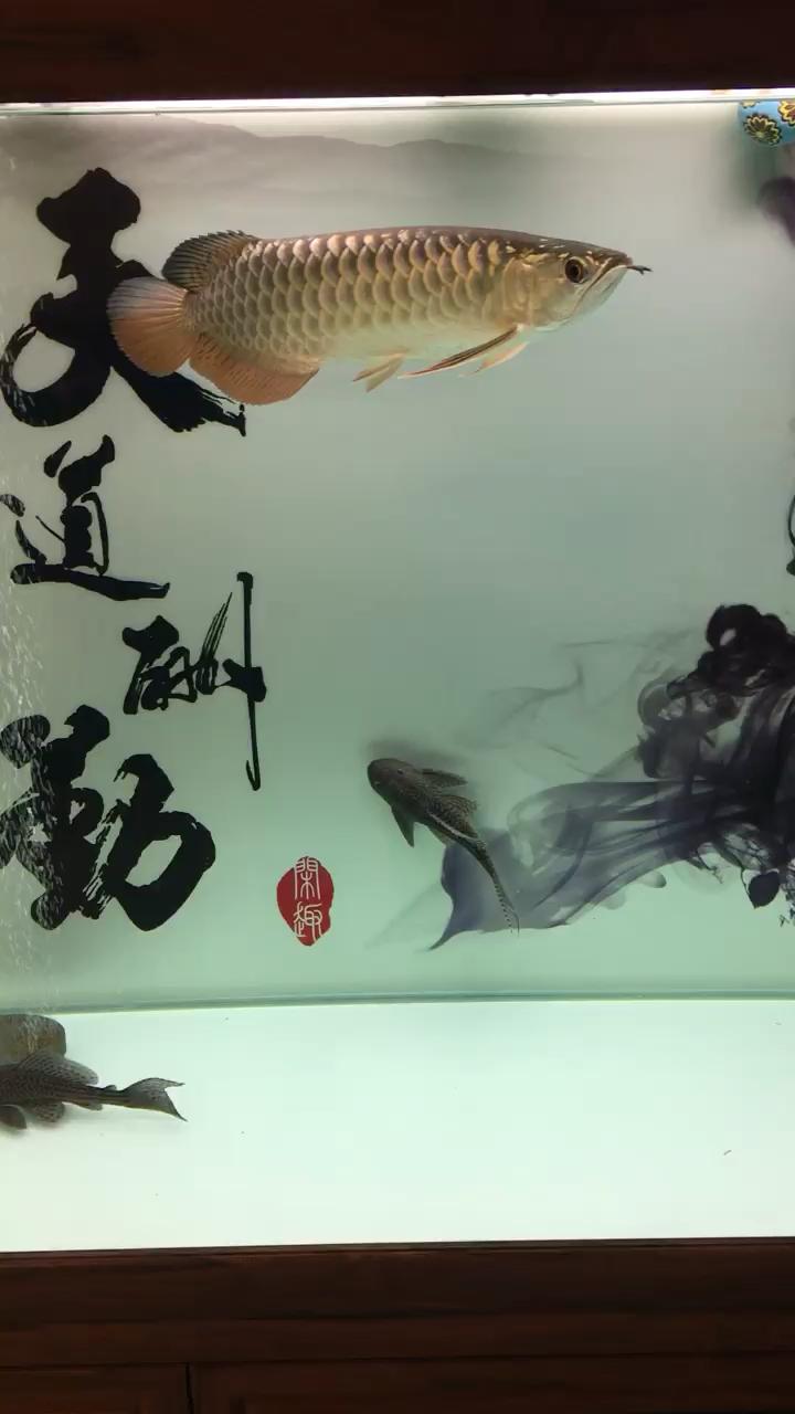 西安黑桃a鱼的寿命多少年立达蓝宝石罗汉鱼龙巅 西安龙鱼论坛 西安博特第1张