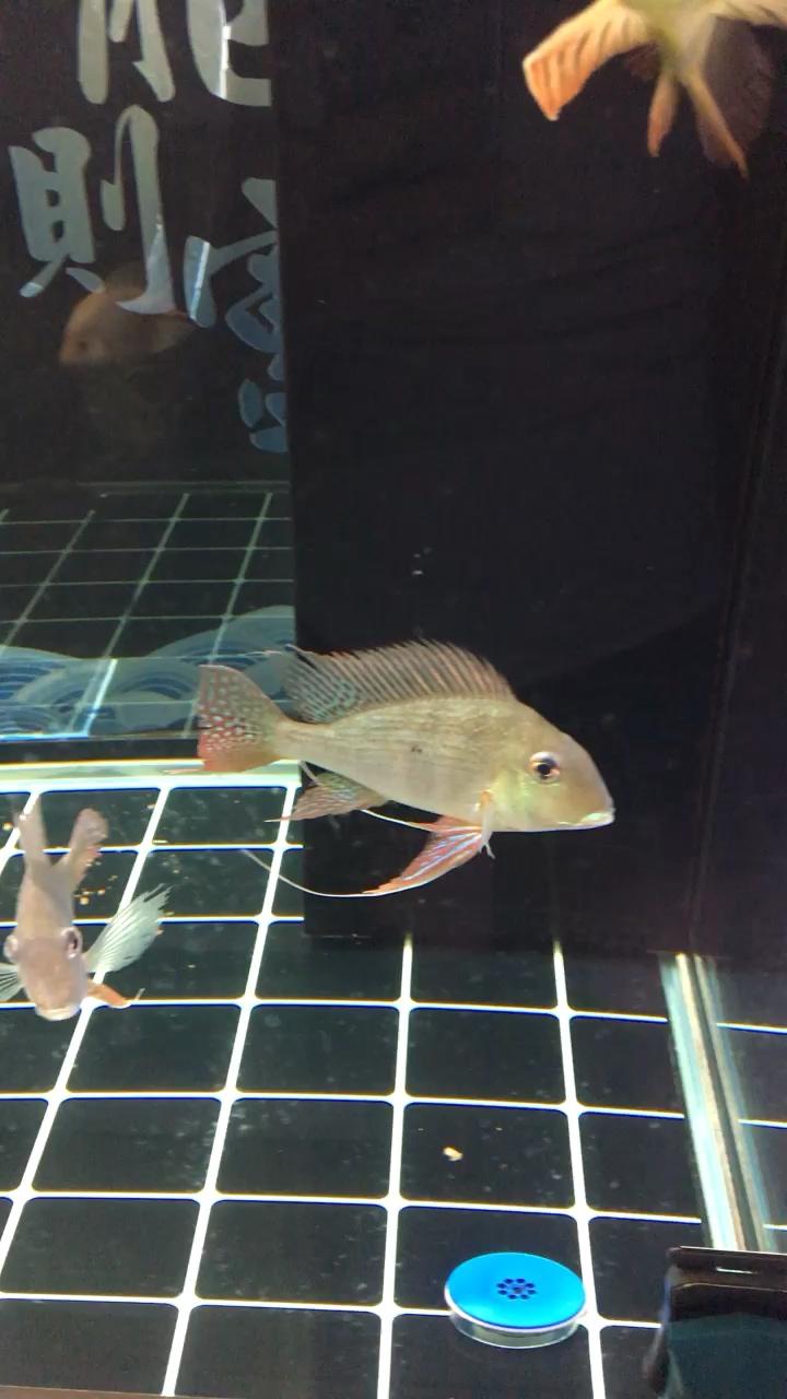 媚不媚、龙鱼龙巅 西安观赏鱼信息 西安博特第1张