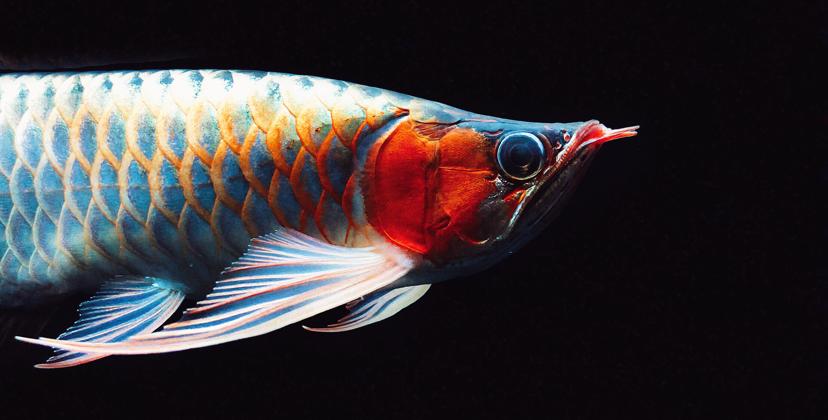 教鱼友如何正确看红龍 西安观赏鱼信息 西安博特第1张