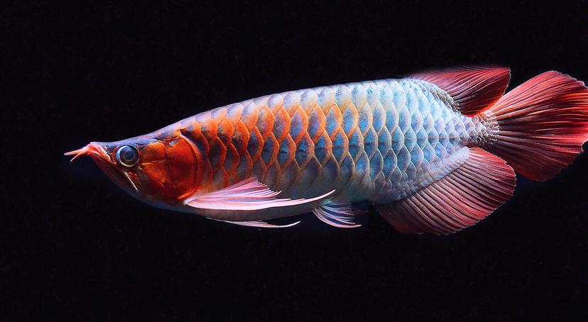 教鱼友如何正确看红龍 西安观赏鱼信息 西安博特第3张