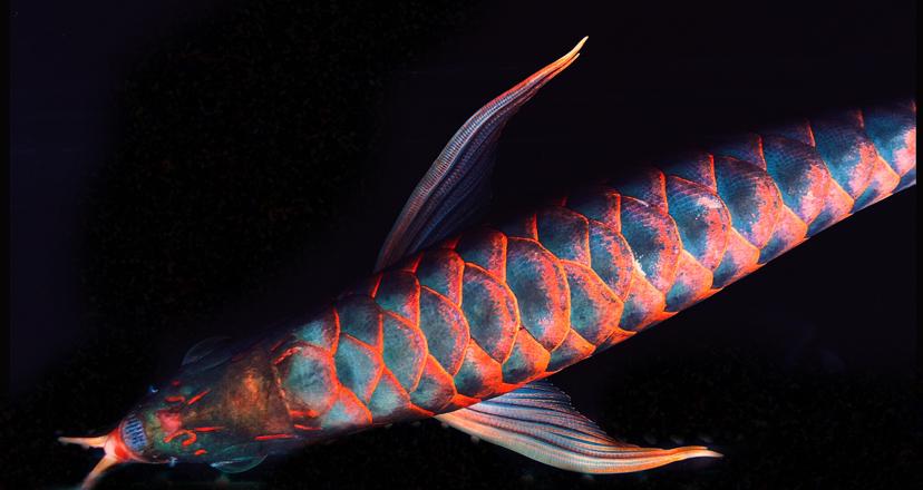 教鱼友如何正确看红龍 西安观赏鱼信息 西安博特第4张