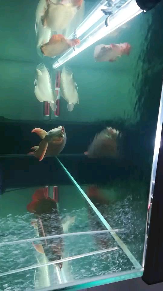 加酸西安布隆迪六间鱼奶 西安龙鱼论坛 西安博特第1张