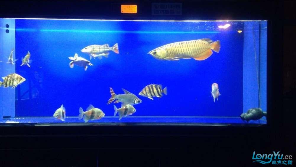 60公分的老版过背、混养罗汉 西安观赏鱼信息 西安博特第2张