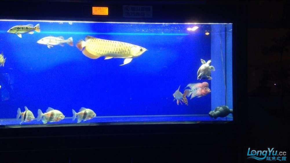 60公分的老版过背、混养罗汉 西安观赏鱼信息 西安博特第1张