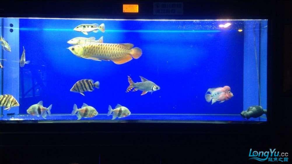 60公分的老版过背、混养罗汉 西安观赏鱼信息 西安博特第3张