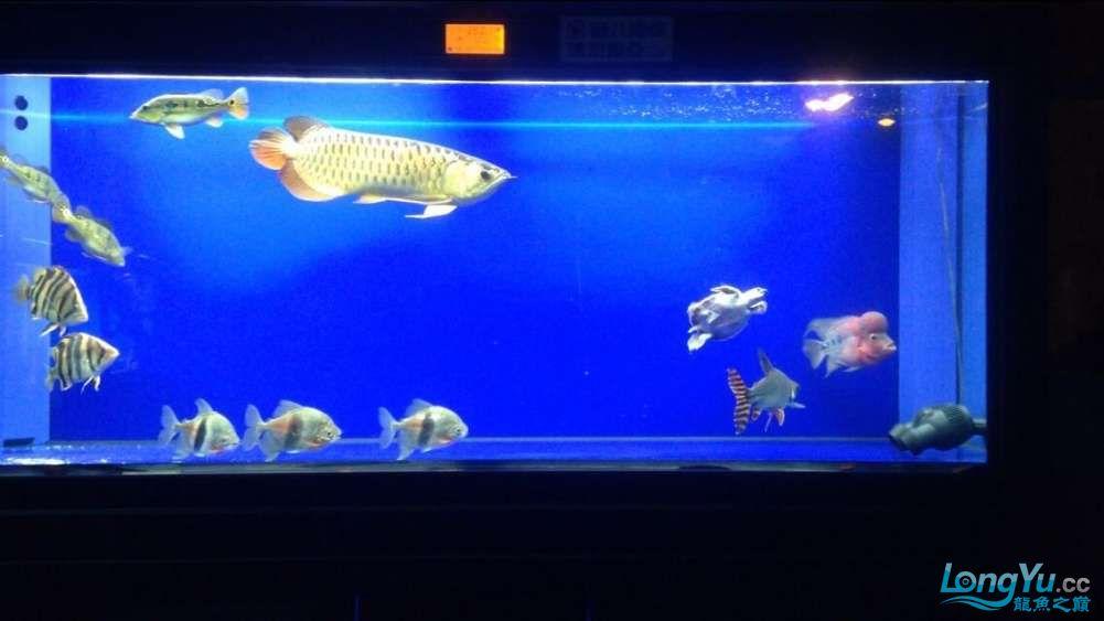 60公分的老版过背、混养罗汉 西安观赏鱼信息 西安博特第6张