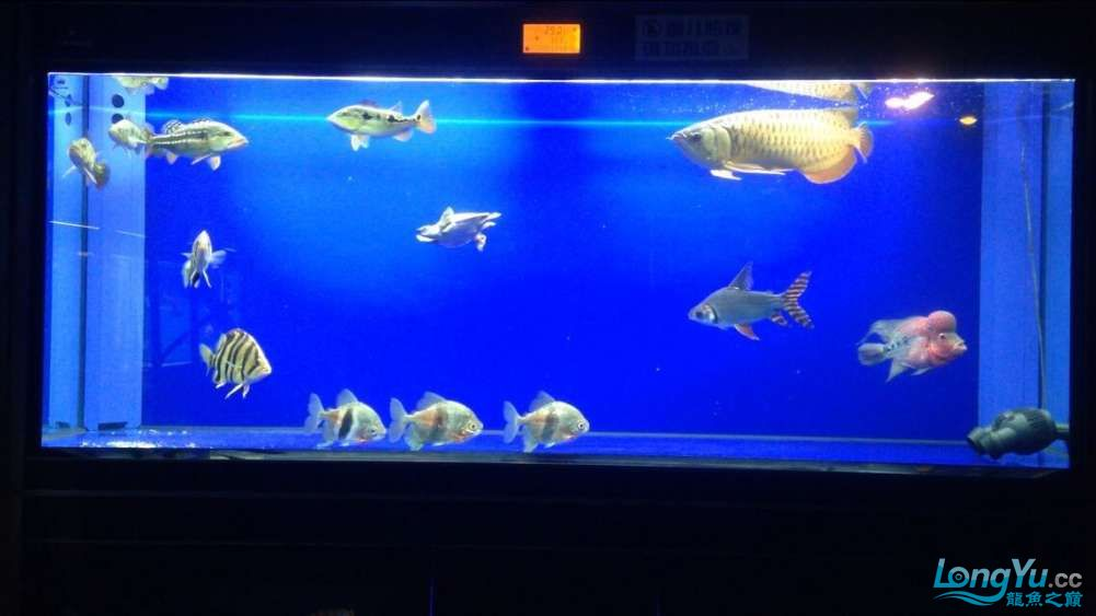 60公分的老版过背、混养罗汉 西安观赏鱼信息 西安博特第5张