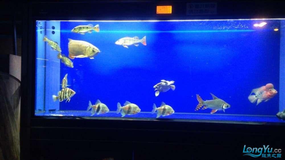 60公分的老版过背、混养罗汉 西安观赏鱼信息 西安博特第4张