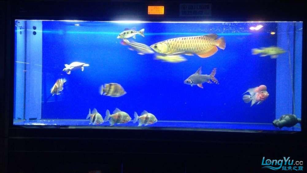 60公分的老版过背、混养罗汉 西安观赏鱼信息 西安博特第7张