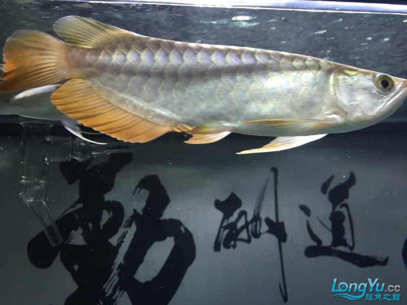 银龙苗价格潜力如何呢 西安龙鱼论坛 西安博特第5张