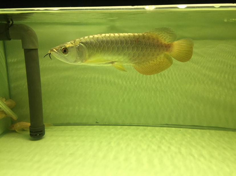 秋季节导致龙鱼拒食 西安观赏鱼信息 西安博特第1张