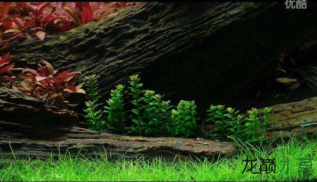分享【西安女王大帆】James Findley大师的一个矮缸作品 西安龙鱼论坛 西安博特第13张
