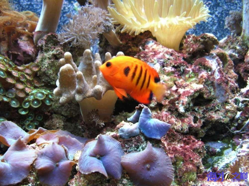 【西安哪个水族店有白子黑帝王魟】黄金吊状态很棒啊 西安观赏鱼信息 西安博特第1张