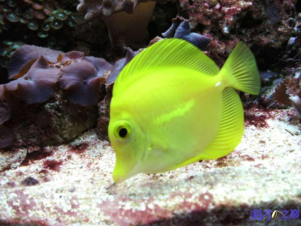 【西安哪个水族店有白子黑帝王魟】黄金吊状态很棒啊 西安观赏鱼信息 西安博特第3张