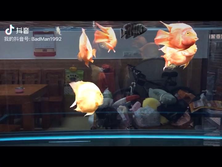 【西安黑白皇冠魟鱼饲养】抢虾食西安布隆迪六间批发市场 西安龙鱼论坛 西安博特第1张