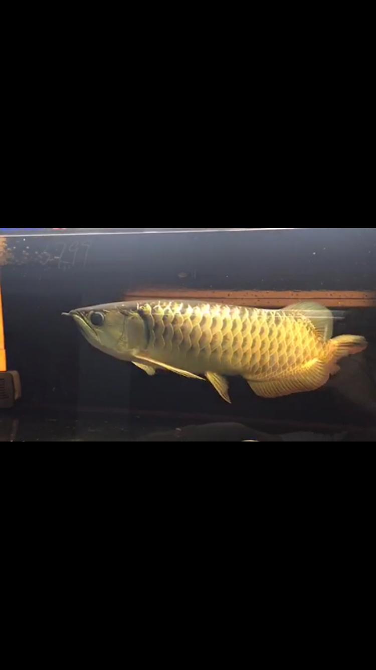 请高手看看金龙什么品质2800贵吗? 西安龙鱼论坛 西安博特第2张