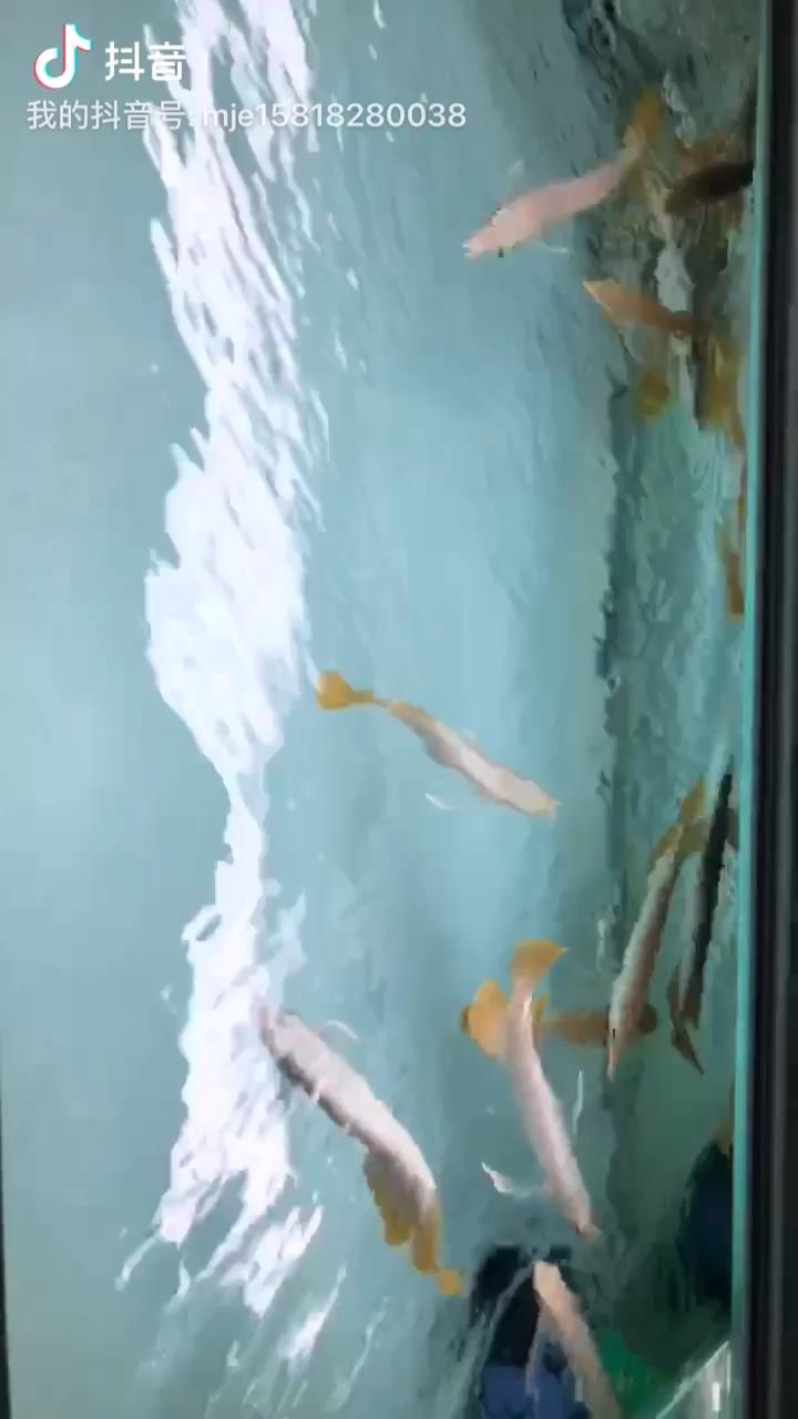 【西安水族箱价格】西安玫瑰银版鱼广东孟吉尔 老蔡 15818280038 西安龙鱼论坛 西安博特第1张