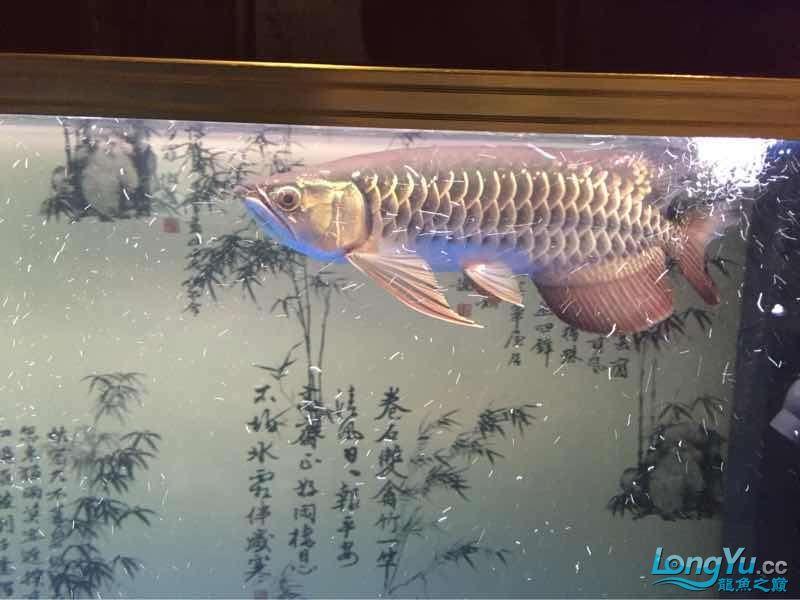 两天【西安哪个水族店有飞凤鱼】了水好点了 西安龙鱼论坛 西安博特第3张