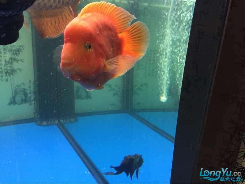 两天【西安哪个水族店有飞凤鱼】了水好点了 西安龙鱼论坛 西安博特第5张