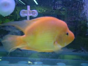 两天【西安哪个水族店有飞凤鱼】了水好点了 西安龙鱼论坛 西安博特第6张